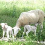 brebis_agneaux